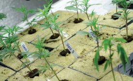 New Marijuana Plants - The ACHR News