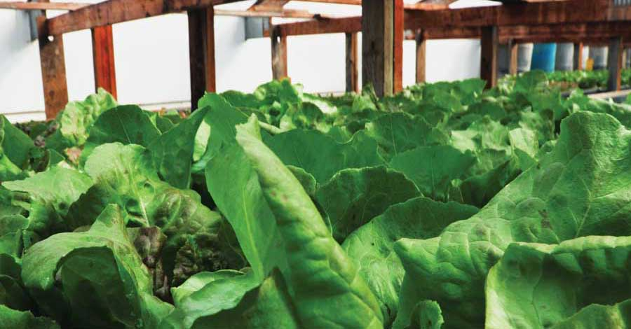 Vertical-Farming-Lettuce-ACHR-News.jpg
