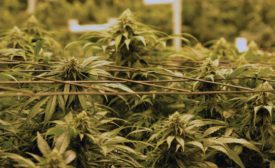 Reducing Cannabis Odors is a Growing Concern