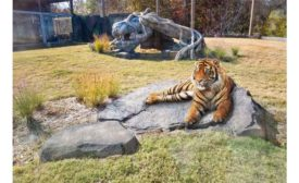 Malayan tiger exhibits with in-slab radiant heating.